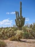 De Cactussen van een Saguaro en Cholla-in Bijgelovenwoestijn stock fotografie