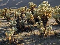 De cactustuin van Cholla in het nationale park van de joshuaboom stock fotografie