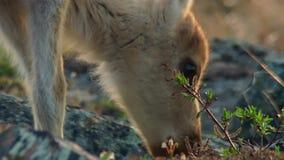 De Calibouwijfjes hebben jouneyed aan het verre noorden aan kalveren en het zoeken van nieuw vers gras Noordelijk Canada stock fotografie