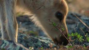De Calibouwijfjes hebben jouneyed aan het verre noorden aan kalveren en het zoeken van nieuw vers gras Noordelijk Canada stock foto