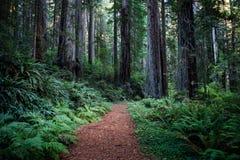 De Californische sequoia's van Californië Stock Afbeeldingen