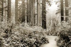 De Californische sequoia's van Californië Royalty-vrije Stock Foto