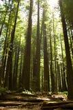 De Californische sequoia's van Californië Royalty-vrije Stock Afbeeldingen