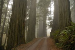 De Californische sequoia's van het Bosje van de stout stock foto