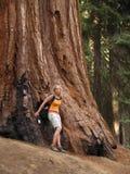 De Californische sequoia's van het Bosje van Mariposa stock afbeeldingen
