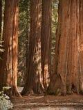 De Californische sequoia's van het Bosje van Mariposa Royalty-vrije Stock Afbeelding
