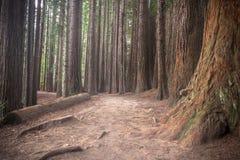 De Californische sequoia's van Nieuw Zeeland stock afbeelding