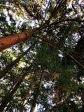 De Californische sequoia'sbomen van Californië Royalty-vrije Stock Afbeeldingen