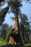 De Californische sequoia'sbosje van Yosemitemerced Royalty-vrije Stock Afbeeldingen