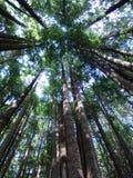 De Californische sequoiabomen van Californië Stock Afbeelding