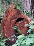 De Californische sequoiabomen van Californië Stock Afbeeldingen