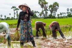 De Cambodjaanse vrouwenwerken aangaande een rijstlandbouwbedrijf Royalty-vrije Stock Afbeelding