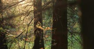 De camera beweegt in de loop van de dag van rechts naar links het schieten van de herfstbomen in het bos stock videobeelden