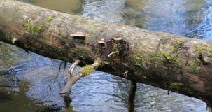 De camera beweegt zich van rechts naar links terwijl het verwijderen van een die boomboomstam met mos wordt en neer in een bos ov stock videobeelden