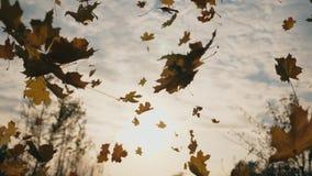 De camera die aan gele esdoorn volgen verlaat het vallen aan grond in de herfst bos Dichte omhooggaand van helder gebladerte die  stock footage