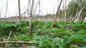 De camera die een gebied met groen toont en droog hogweed in Russisch platteland stock video