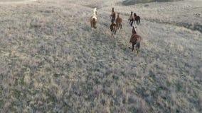 De camera vliegt met de het lopen paardkudde stock videobeelden