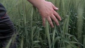 De camera volgt man hand op het graangewassengebied stock footage
