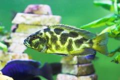 De camouflage colorated roofdiervissen Stock Foto
