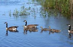 De Canadese Familie van de Gans Royalty-vrije Stock Afbeelding