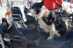 De Canadese Hond van de Redding Stock Afbeelding