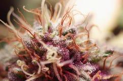 De cannabis bloeit dicht omhoog Stock Afbeeldingen