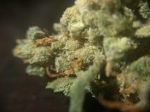 De cannabisbloemen van het stinkdieronkruid Royalty-vrije Stock Afbeelding