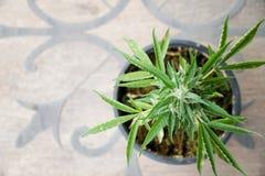 De cannabisinstallatie Marihuanainstallatie die in openlucht bloeien Stock Foto
