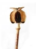 De Capsule van de Papaver van de besnoeiing Royalty-vrije Stock Fotografie