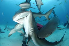 De Caraïbische Haai van de Ertsader royalty-vrije stock fotografie