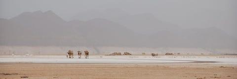 De Caravan van de kameel in Lak Assal Stock Afbeelding