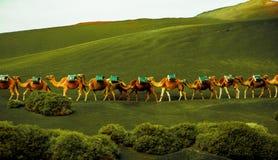 De caravan van kamelen vordert stock foto