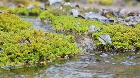 De cascadestroom van de close-up langzame die motie door groen en van angst verstijfd mos wordt omringd Hoge minerale inhoud in b stock videobeelden