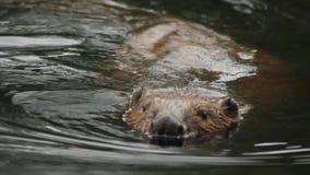 De castor de rivière Sibérien à l'ouest banque de vidéos