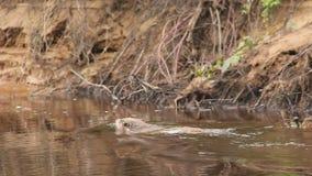 De castor de rivière Sibérien à l'ouest clips vidéos