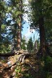 De ceders in Siberische taiga Royalty-vrije Stock Foto's