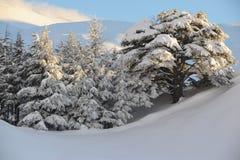 De ceders van Libanon royalty-vrije stock afbeelding