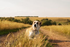 De Centrale Aziatische Herder die van het hondras op een grond liggen Royalty-vrije Stock Fotografie