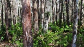 de centrale bossen van Florida in de herfst stock footage