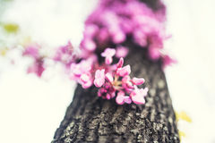 De Cercisboom in volledige bloesem bloeit detail royalty-vrije stock foto
