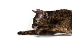De charmante krullende kat Ural Rex neemt op de vloer heimelijk en bekijkt de prooi met grote groene ogen Kleuren zwarte schildpa stock afbeelding