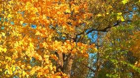 De charme van de gouden herfst stock video