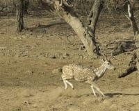 De Cheetalherten ruiken een gevaar royalty-vrije stock afbeeldingen
