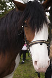 De cheval étrange laid avec la tache blanche sur la fin de visage  Photographie stock