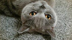 De cheveux courts de Cat Lying dos de pure race bleu britannique dessus photos stock