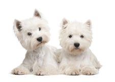 de chien terrier blanc des montagnes à l'ouest images stock