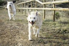 De chiens amis ensemble Image stock