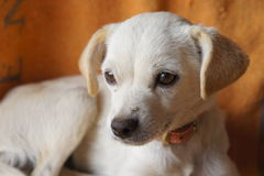 De Chihuahua gemengde hond van het rassenpuppy Stock Foto's