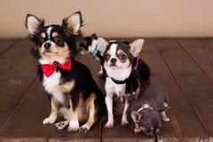 De Chihuahuafamilie draagt halsband Stock Afbeeldingen