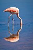 De Chileense flamingo daalt zijn hoofd in een lagune Royalty-vrije Stock Afbeelding